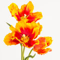 Orange and yellow tulips close up of two toned red parrot these large bloom petals are curled feathered parrot were developed Royalty Free Stock Image