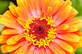 Orange zinnia elegans close up Stock Images