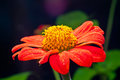 A Orange Zinnia Flower Royalty Free Stock Image