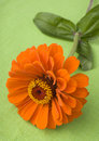 Orange zinnia on green Royalty Free Stock Photo