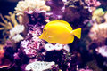 Orangeblotch surgeon fish in a coral reef Royalty Free Stock Photo