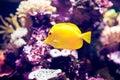 Orangeblotch surgeon fish in a coral reef Royalty Free Stock Photo