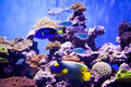 Orangeblotch surgeon fish in a huge tank Royalty Free Stock Photo