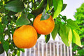 Oranges on the Branch Stock Photography