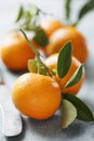 Oranges fresh or mandarines still on the branch Royalty Free Stock Photo