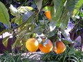 Oranges hanging with green branches Royalty Free Stock Photos