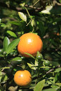 Oranges Hanging on Tree Royalty Free Stock Photo