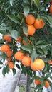 Oranges In Orange Tree