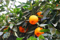 Oranges on tree branch Royalty Free Stock Images