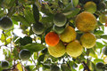 Oranges on tree branch Royalty Free Stock Image