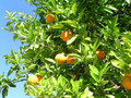 Oranges on tree portugal ripe a green with cloudless blue sky in Royalty Free Stock Photos