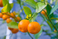 Oranges in a tree at spring Stock Photos