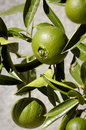 Oranges unripe hanging on the orange tree Stock Images