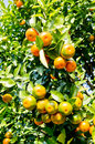 Oranges yellow under the sunshine Royalty Free Stock Image