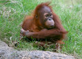 Orangutan Royalty Free Stock Photos