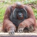 Orangutan anthropoid ape bali zoo Stock Images