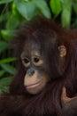 The orangutan baby bangkok in thailand Royalty Free Stock Image
