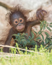 Orangutan baby cute months old bornean ornagutan Stock Photography