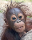 Orangutan baby with funny face expression of curiosity inquiring eyes Royalty Free Stock Images