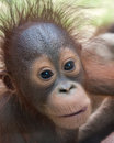 Orangutan baby with funny face expression of hunger showing the tip of his tongue Stock Image