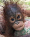 Orangutan baby with funny face expression of tenderness perhaps looking for cuddle Stock Image