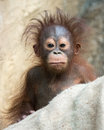 Orangutan baby with funny face months old Stock Photography
