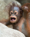 Orangutan baby with funny face months old apologetic look Royalty Free Stock Photography