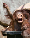 Orangutan baby with funny face playful appearing to show sign of victory or perhaps leading a charge Royalty Free Stock Photography