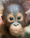 Orangutan baby with funny face surprised expression eyes wide open Royalty Free Stock Photo