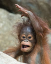 Orangutan baby get out of here months old being dismissive Royalty Free Stock Photos