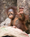 Orangutan baby with his open hand in the air Stock Photography