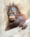 Orangutan baby hmmm let me think months old looking pensive Royalty Free Stock Images