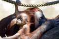 Orangutan baby mama with her ​​baby Royalty Free Stock Photo