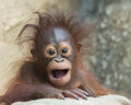 Orangutan baby months old with his mouth open Stock Image