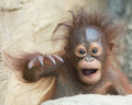 Orangutan baby yo bro months old acting funky Royalty Free Stock Photos