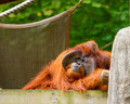 Orangutan being lazy at the zoo Stock Image