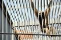 Orangutan in cage Stock Image