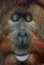 Orangutan cross hybrid of the sumatran pongo abelii and the bornean pongo pygmaeus wildlife animal Stock Images