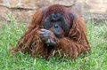 Orangutan deep in thought male bornean Royalty Free Stock Images