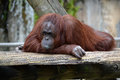 Orangutan deep in thought at the zoo Stock Photography