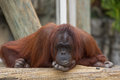 Orangutan an in deep thoughts with a human like expression Royalty Free Stock Photography
