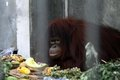 Orangutan eating portrait of looking at you Stock Photo
