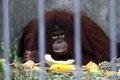 Orangutan eating portrait of looking at you Royalty Free Stock Photography