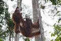 Orangutan Family resting in the trees on their strong paws (Indonesia) Royalty Free Stock Photo