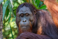 Orangutan family Royalty Free Stock Photo