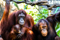 Orangutan family two and baby in singapore zoo Royalty Free Stock Photos