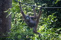 Orangutan hanging rope lush jungle behind sepilok sanctuary malaysia Stock Photo