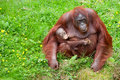 Orangutan with her cute baby Stock Image
