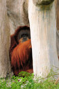 Orangutan In Hiding Royalty Free Stock Images
