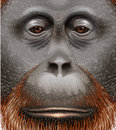 An orangutan illustration of face Royalty Free Stock Photo